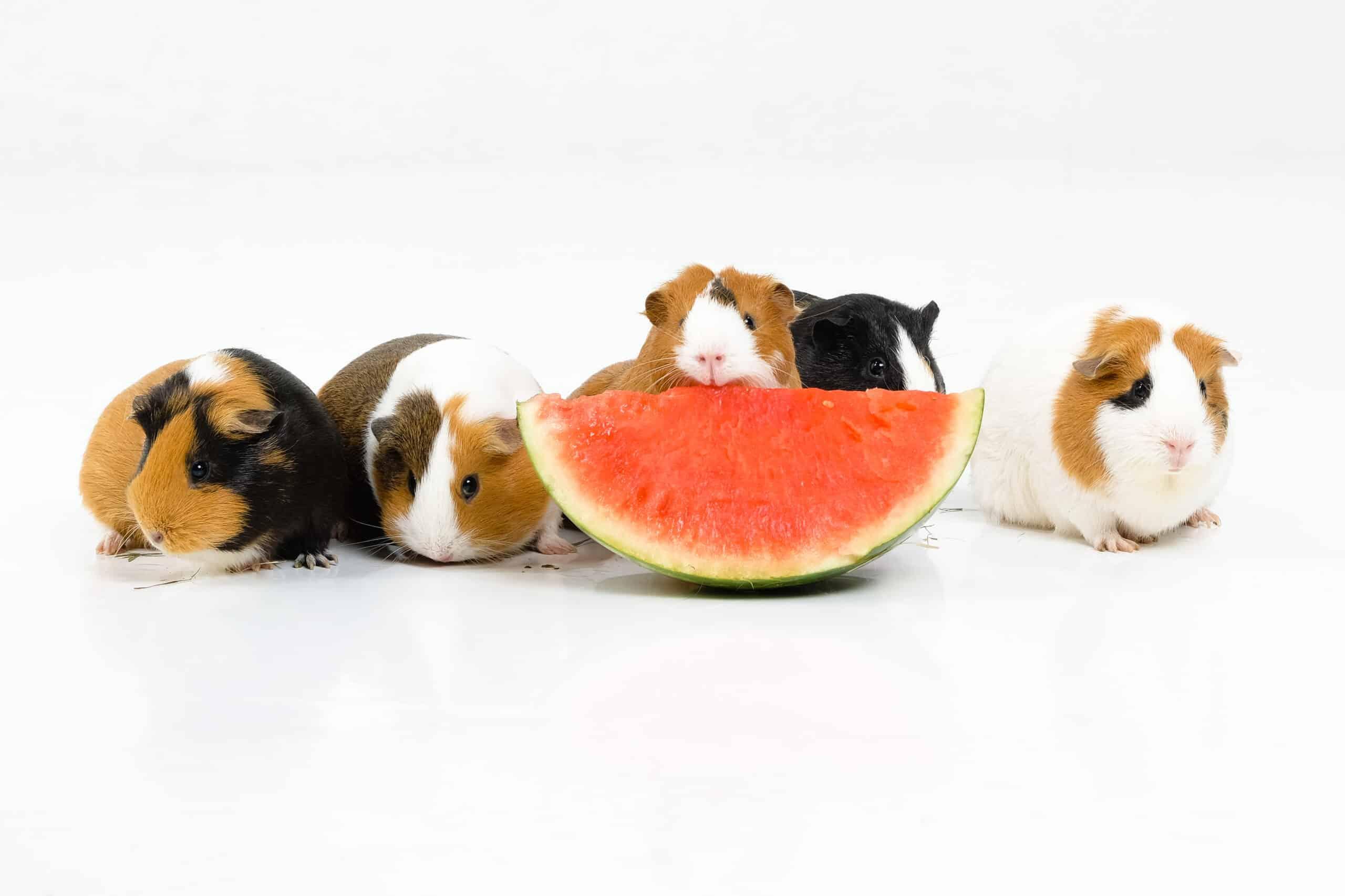 Cavia's eten meloen